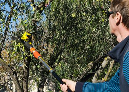 Les différentes méthodes de récolte des olives