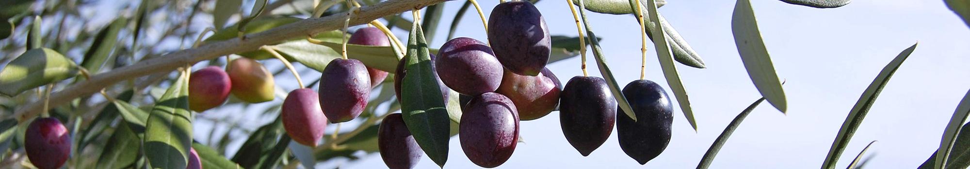 Peigne vibreur Lolita Slim 12V pour la récolte des olives